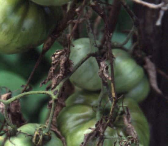 Paradižnikova plesen