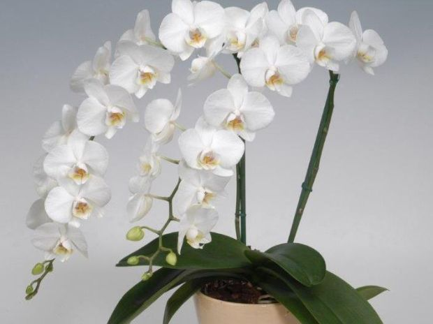 bele orhideje