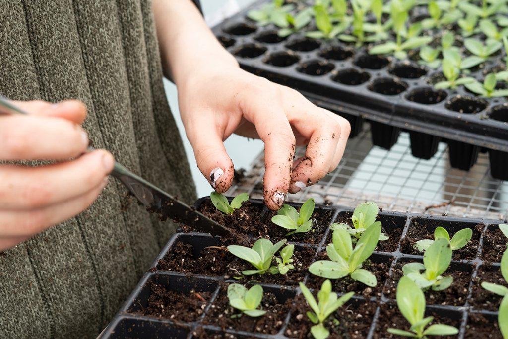 Prirpava lastnih sadik zelenjave